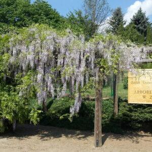 Arboretum Leśne W Zielonce (fot. Archiwum Arboretum Leśnego W Zielonce)