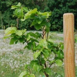 Drzewa Bukowe